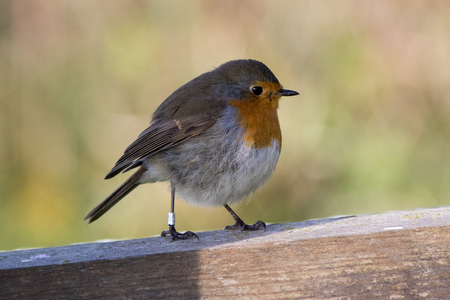 rubecula: Robin Erithacus rubecula at the autumn migration in Southern Sweden. Stock Photo
