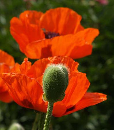 poppies       Stock Photo - 3179548