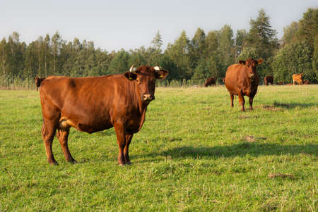 Brown cows on the meadow.