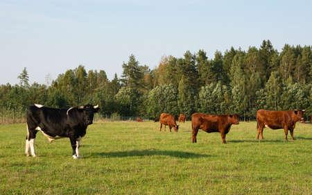 beef and cows on the field. Zdjęcie Seryjne