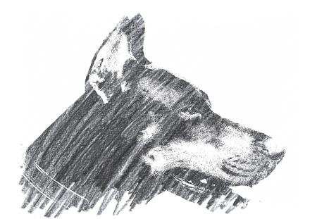 Pencil Drawing of a Doberman Dog