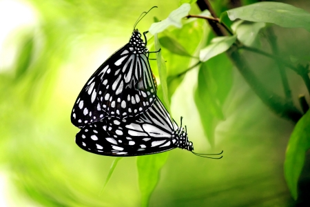 animal vein: Two Butterflies Mating in the Natural Stock Photo