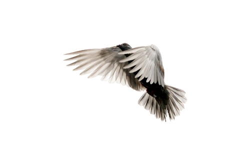 Free Flying Dove Isolated on a White Stock Photo