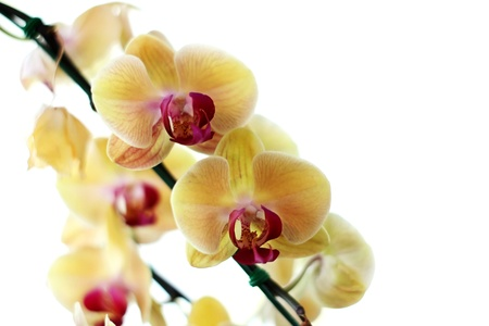 Blooming Orchids on White Background photo