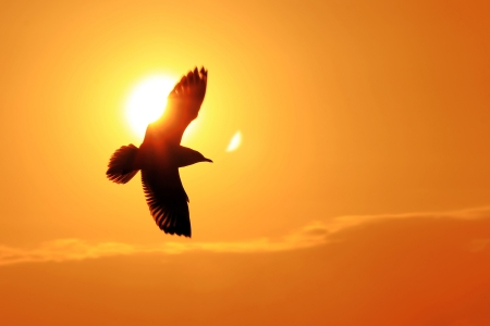 Seagull Flying alone Into the Sunset