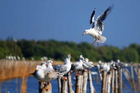 landing Seagull along the Gulf of Thailand photo