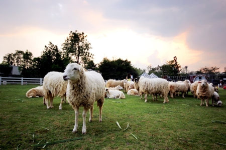 Lambs in the Scenery Resort Farm, Suanphuang, Thailand photo
