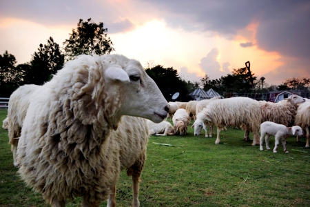 shepherd sheep: Lambs in the Scenery Resort Farm, Suanphuang, Thailand