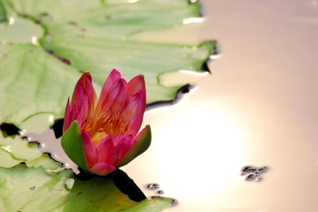 Single lotus flower photo