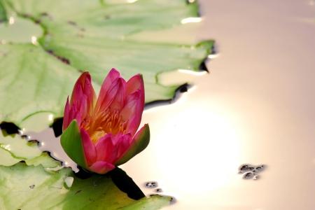 Single lotus flower photo