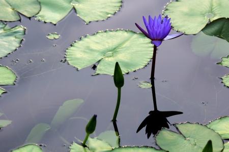 Single lotusbloem