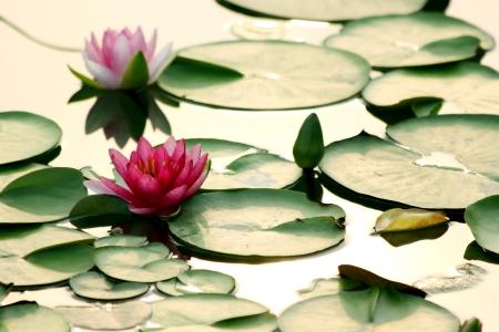 lirio de agua: flor de loto en el agua Foto de archivo