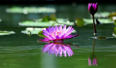 beautifu: Beautifu Water Lily with reflection