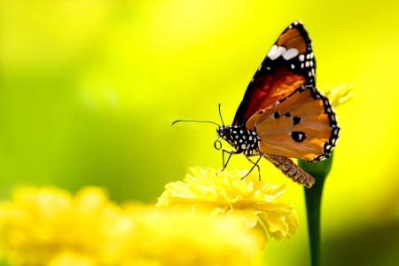 mariposas volando: Hermosa mariposa en el medio natural