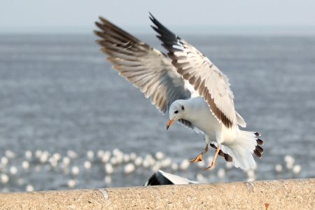 Seagull landing op de grond Stockfoto