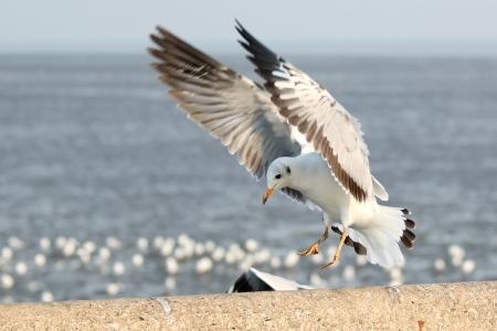 Seagull Landung auf dem Boden