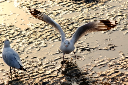 Seagull landing on the ground photo