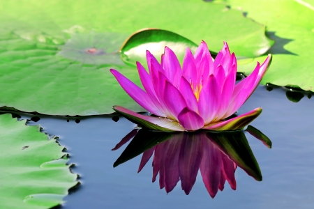 Beautiful lotus flower with reflection  photo