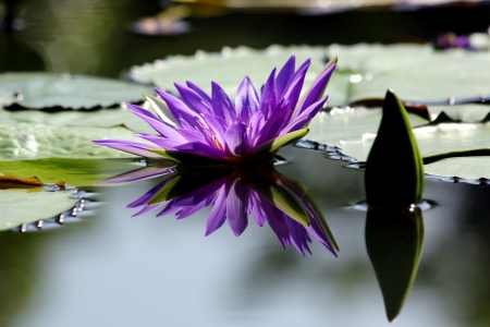 water on leaf: Beautiful lotus flower with reflection