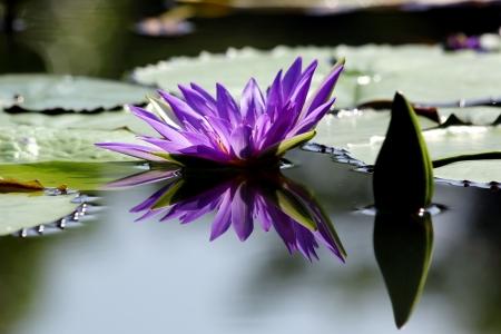 lirio acuatico: Hermosa flor de loto con la reflexi�n
