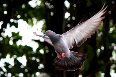 Flying pigeon in the natural photo