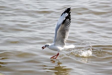 Seasonal migratory seagull along the Gulf of Thailand