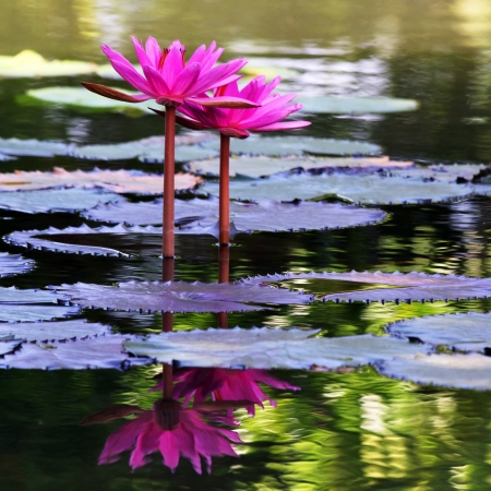 The beautiful Blooming lotus flower photo