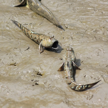 marina life: Two mudskipper fish are fighting Stock Photo