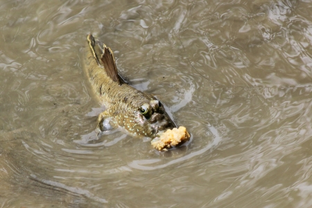 lungfish: Mudskipper fish eating in the water
