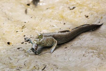 lungfish: Mudskipper fish eating a crab