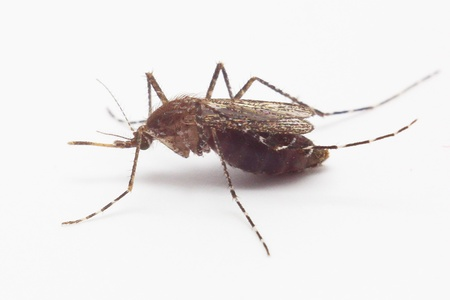 lifeblood: Mosquito isolated on white background Stock Photo