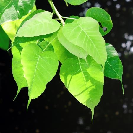 pipal or peepul or sacred fig leaf Stock Photo