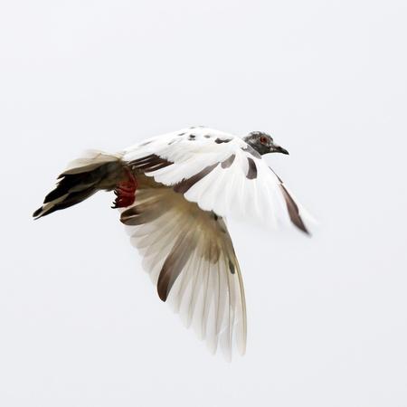 Vliegende duif geïsoleerd op een witte achtergrond Stockfoto