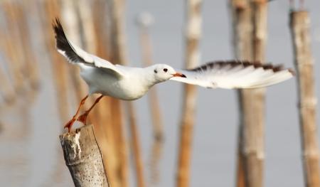 Zeemeeuw opstijgen vanaf een paal