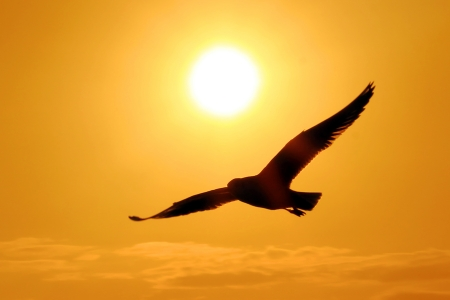 Seagull Flying Into the Sunset  photo