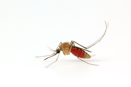 infective: Mosquito isolated on white  Stock Photo