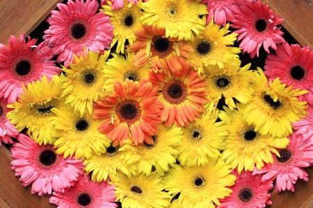 barberton daisy: Beautiful gerbera or Barberton daisy flower