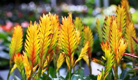 vriesea: Bromelia o Vriesea fiore splendens