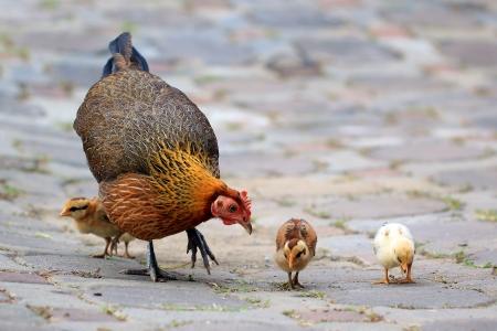 pollitos: Gallina de la madre y sus polluelos