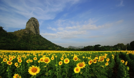 Blooming sunflower against the blue sky background photo