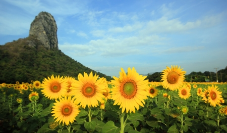 Beautiful Sunflowers in the field Stock Photo