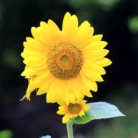 Closeup of the blooming sunflower
