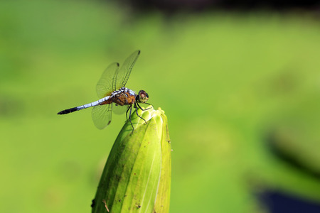 A dragonfly on beautiful lotus flower Stock Photo