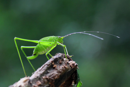 Grasshopper perching in the Natural