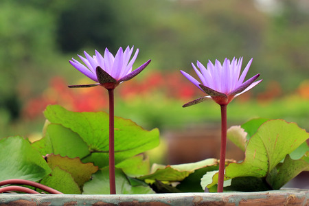 aquatic herb: beautiful Blooming lotus flower Stock Photo