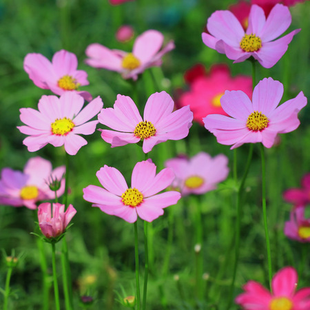 beautiful cosmos flower in the garden photo