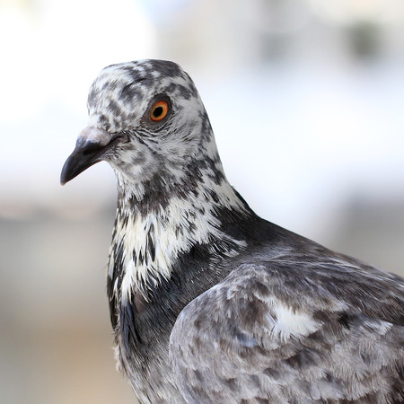 closeup of the freedom pigeon