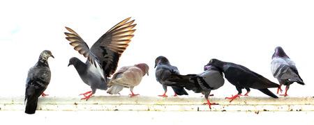 groep van duif op een witte achtergrond Stockfoto