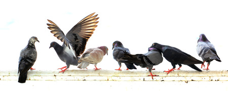 group of pigeon isolated on white background