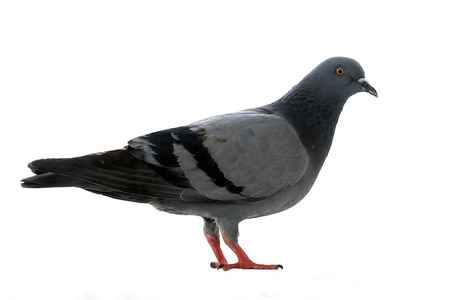 closeup of pigeon isolated on white background